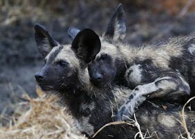 Itinerary-FIT-Kruger-Park-Experience---Sabine-TRENSZ---Wild-Dog