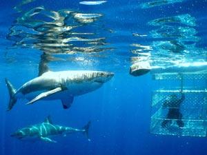 SA-Shark-Cage-Diving